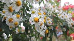 CHÙM ẢNH: Mê mẩn loài hoa dã quỳ trắng tinh khôi độc đáo tại Đà Lạt