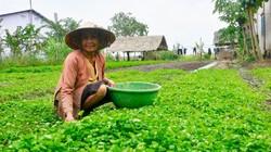 Kiên Giang: Ở nơi này, dân khấm khá hẳn lên nhờ trồng rau má đồng