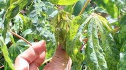 Tây Ninh: Thu hồi đất trồng mía để sản xuất giống mì sạch bệnh
