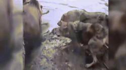 """Cảnh tượng hãi hùng: Bầy gấu """"tổng lực"""" phanh thây sói cái"""