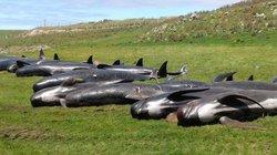 90 con cá voi trôi dạt bờ biển New Zealand trong một ngày