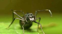 Phát hiện chất lỏng từ nhện có hàm lượng protein gấp 4 lần sữa bò