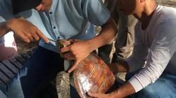 Ly kỳ hành trình mổ nội soi gắp dị vật trong bụng cứu sống rùa biển