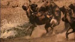 Video: Linh cẩu và cá sấu lần lượt tung đòn bất ngờ giết chết chó hoang