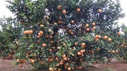 Sơn La: Nổ lực thoát nghèo, làm giàu nhờ trồng cam