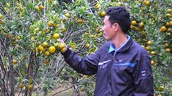 Ở đây dân đổi đời từ những vườn quýt vàng trĩu quả