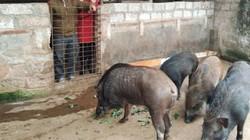 """Con đặc sản bán Tết: Có ngựa bạch, lợn rừng, """"chuột"""" ăn tre nứa"""