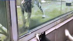 Hổ và chó đối đầu ở vườn thú, hành động khiến ai cũng phải cười