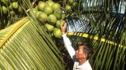 Khá giả nhờ trồng dừa trái chi chít trên ngọn