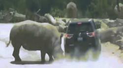 Bị xâm phạm lãnh thổ, tê giác húc lia lịa vào khách tham quan