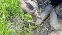 5 đứa trẻ giật được hàng chục con ếch trên ruộng nhờ tuyệt chiêu này