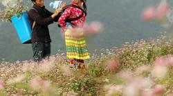 Clip: Mê đắm những đồi hoa tam giác mạch đẹp như tranh ở Hà Giang