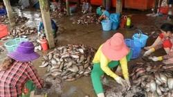 Bí ẩn chuyện thương lái thu mua vảy cá, bao nhiêu cũng khuân sạch