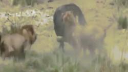 Video: Bầy sư tử tấn công trâu rừng đi lạc, kịch tính đến phút chót
