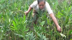 LẠ MÀ HAY: Trồng rau dại như cấy lúa, bán cả củ lẫn ngọn