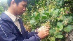 Bình Phước: Nông dân méo mặt vì sâu đục thân hoành hành vườn điều