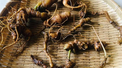 Lạc vào thế giới loài sâm quý hơn vàng của Việt Nam