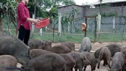 Bỏ công nhân về nuôi loài lợn rừng vươn lên khá giả