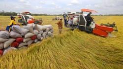 Xâm nhập mặn đe dọa, ĐBSCL mất 30 – 50% sản lượng lúa