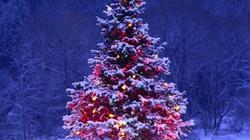 Những bí mật bất ngờ về cây thông Noel