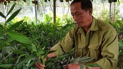 Lạ mà hay: Tìm cách làm giàu nhờ trồng giống gừng hoang