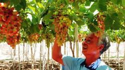 Ứng dụng chế phẩm vi sinh vật, người trồng nho hồng hưởng lợi kép