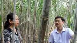 Những cánh đồng mía trăm tấn nhờ bón phân Lâm Thao