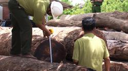 Vụ gỗ lậu Phượng râu: Giám đốc DN hối lộ kiểm lâm trăm triệu đồng