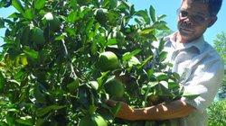 Từ nghèo khó hành tỷ phú...nhờ trồng cam đặc sản