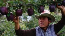 Táo lạ có màu cực hiếm, chỉ một nơi trồng bán 150.000 đồng/quả