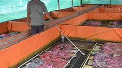 An Giang: Thoát nghèo, làm giàu nhờ nuôi lươn không bùn dày đặc