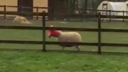 Cừu lén lút ăn vụng và cái kết khiến ai cũng phì cười
