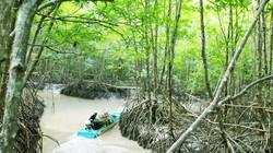 1.1 Tết DL: Khám phá tuyến tham quan xuyên rừng VQG Mũi Cà Mau
