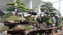 Chiêm ngưỡng đồi tùng trên thân gỗ 1000 năm tuổi ở Hà Nội