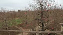 CHÙM ẢNH: Vườn đào đẹp nhất Hà Nội vắng bóng người dịp Tết dương lịch