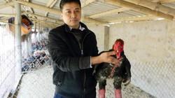 """Hưng Yên: Loài gà đầu củ tre, """"chân voi"""" được """"ăn ngon, ở ấm"""" chờ Tết"""