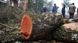 Bao giờ sẽ diễn ra phiên đấu giá lần 3 lô gỗ sưa trăm tỷ ở Hà Nội?