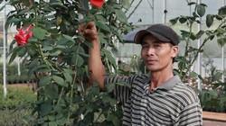 Đà Lạt: Ghép hoa hồng từ gốc vứt đi, vừa đẹp vườn lại có tiền tiêu