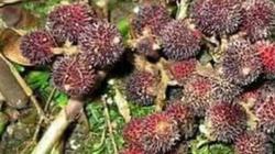 Lào Cai: Đến mùa rồi, dân 1 xã vào rừng hái quả này thu 20 tỷ