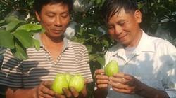 Ninh Bình: Cả làng ăn nên làm ra, giàu lên nhờ trồng ổi lê Đài Loan