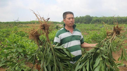 Vụ xã nhổ nhầm 3.000 cây keo: Dân yêu cầu bồi thường 35.000 đồng/cây