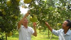 Hà Nội trồng cây ăn quả hàng hóa, xuất hiện nhiều nhà vườn tiền tỷ