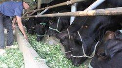 Ba Vì: Giàu tiềm năng phát triển chăn nuôi bò thịt