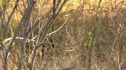 Video: Cầy mangut nhảy cao, quyết lôi rắn mamba kịch độc xuống ăn thịt