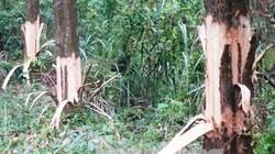 Bí thư chỉ đạo cạo vỏ để cây của dân chết xin thôi chức