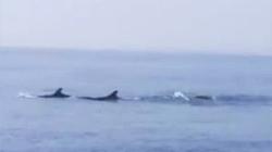Quảng Nam: Đàn cá heo lớn xuất hiện trên vùng biển Cửa Đại
