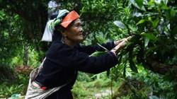 Shan tuyết Cao Bồ có gì đặc biệt khiến dân sành trà còn tấm tắc?