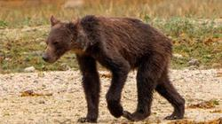 Bắt gặp gấu xám gầy trơ xương thảm hại lê bước đi kiếm ăn ở Canada