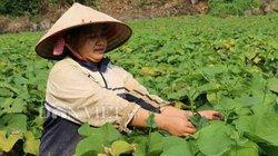 Hòa Bình: Trồng thứ rau ngọn mọc tua tủa, bán đắt hàng