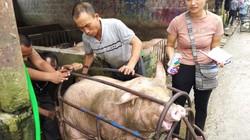 """Giá heo hơi hôm nay 7/10: Lợn """"sốt xình xịch"""", tăng tiếp 2.000 đ/kg"""